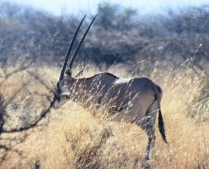 An oryx spotted on a game drive